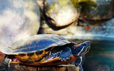 La Tartaruga:  simbolo della Longevità e dell'Inverno